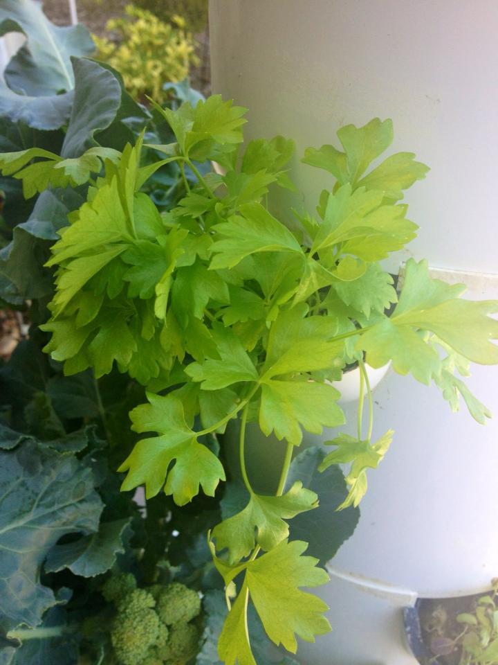 Incorrect pH or insufficient minerals causing yellowing of Parsley